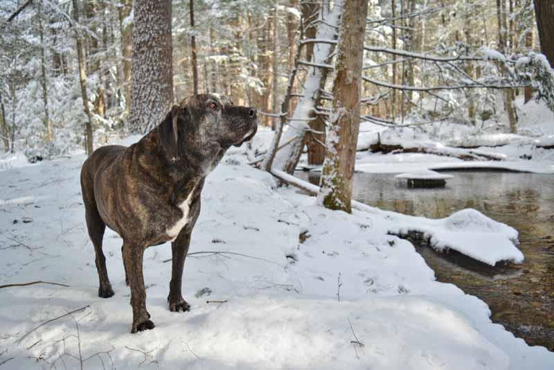 plott-hound-hund
