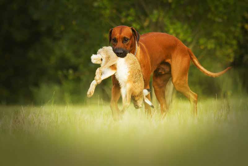 rhodesian-ridgeback-hund
