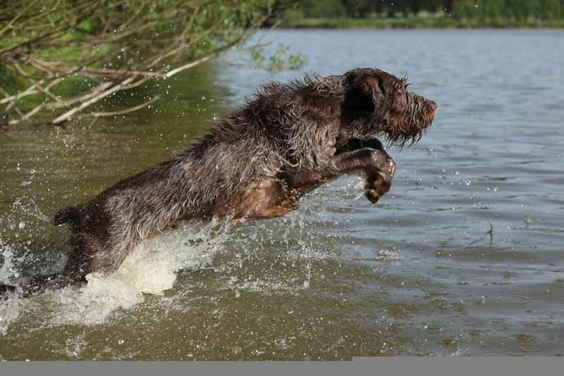 spinone-italiano-hund
