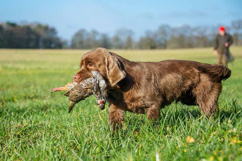 sussex-spaniel-hund