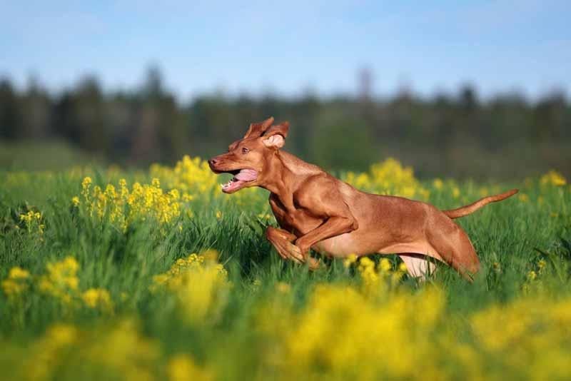 vizsla-hund