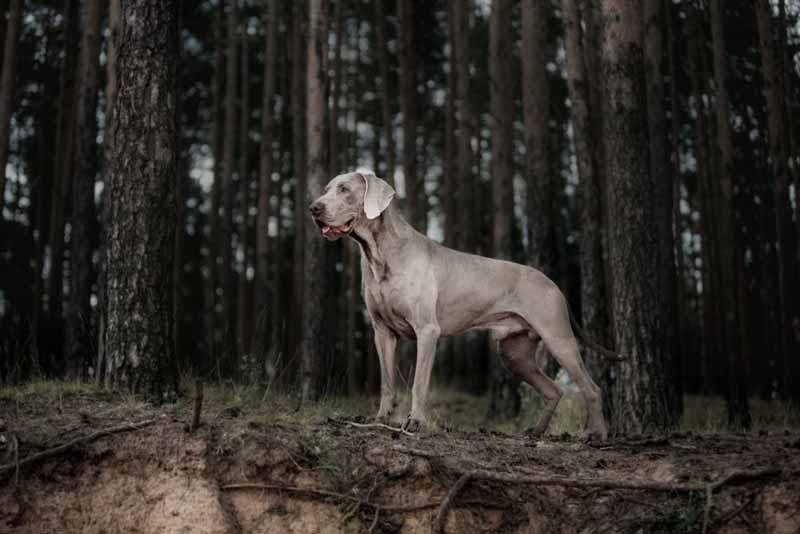 weimaraner-jagd