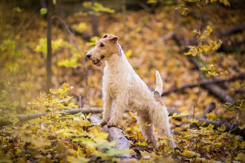 wire-fox-terrier-hund