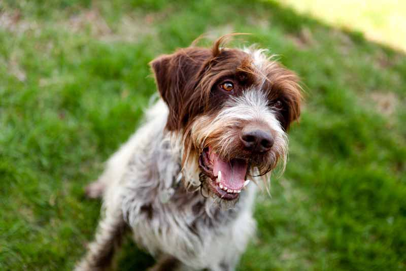 wirehaired-pointing-griffon-hund