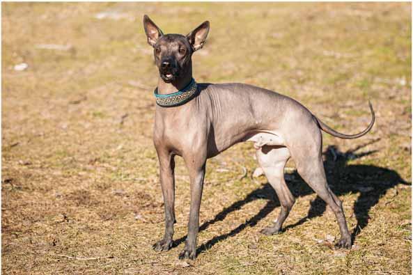 xoloitzcuintli-hund