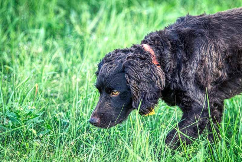 boykin-spaniel-hund