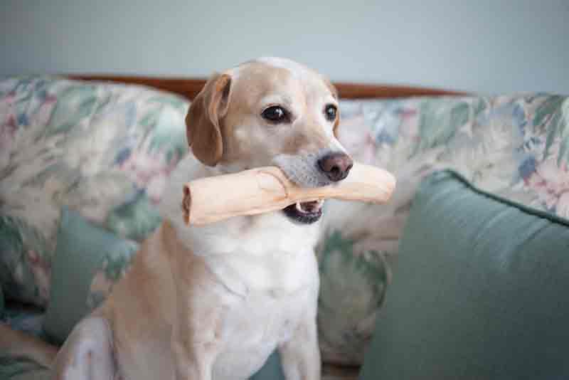 labrador-beagle-mix