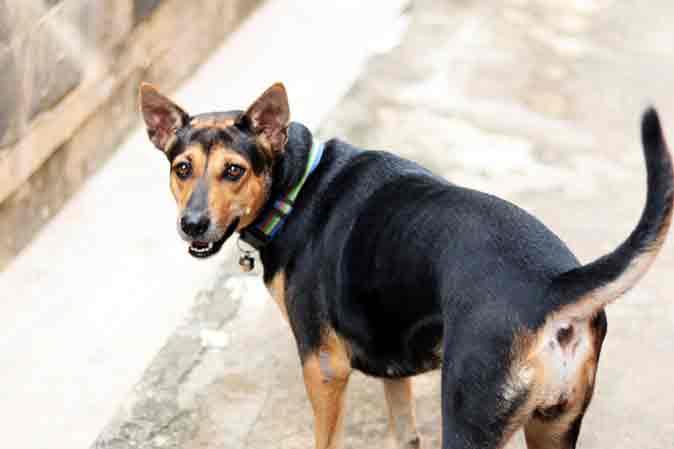 labrador-rottweiler-mix